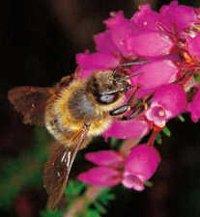 abeille dans -> NOTIONS D'ECOLOGIE