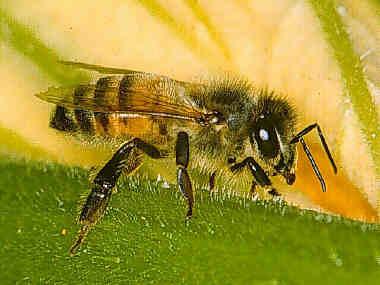 Suivez les abeilles... dans -> ACTUS abeille2