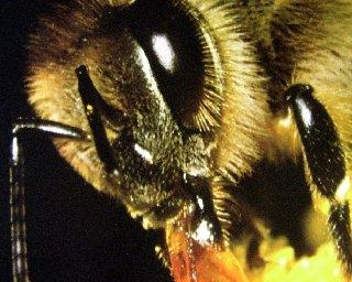 abeille2 dans Monde animal