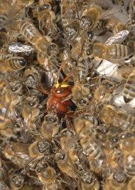 guerre abeille